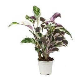 Комнатные растения - Калатея Фьюжн, 0