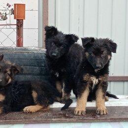Собаки - Щенки немецкие овчарки длинношёрстные , 0