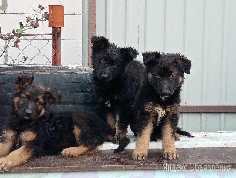 Щенки немецкие овчарки длинношёрстные  по цене 7000₽ - Собаки, фото 0