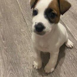 Собаки - щенки Джек рассел терьер , 0
