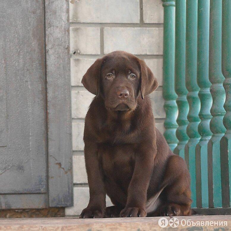 питомник лабрадоров щенки по цене не указана - Собаки, фото 0
