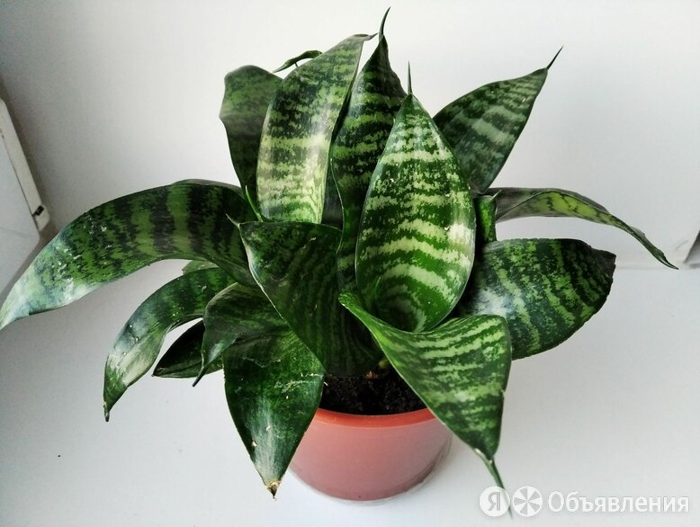 Сансевиерия ханни  по цене 150₽ - Комнатные растения, фото 0