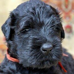 Собаки - Русский Черный терьер, 0