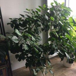 Комнатные растения - Гибискус взрослый, 0