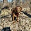Миниатюрная собачка в добрые руки по цене даром - Собаки, фото 2