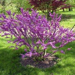 Рассада, саженцы, кустарники, деревья - Церцис канадский церцис китайский багряник иудино дерево, 0