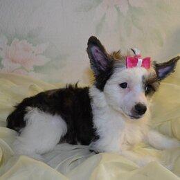 Собаки - Китайская хохлатая пуховая щенки 2 месяца, 0
