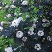 саженцы Пузыреплодника от 150 р по цене 150₽ - Рассада, саженцы, кустарники, деревья, фото 0