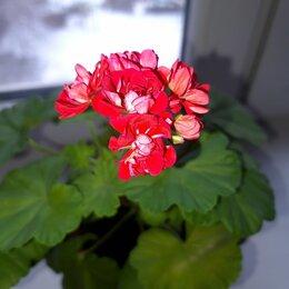 Комнатные растения - Продаю розебудную герань, 0