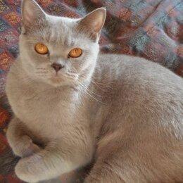 Кошки - Шотландская прямоухая кошка, 0