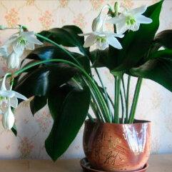 Комнатные растения - Продам Эухарис или Амазонская лилия, 0