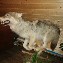 Рога, шкуры, чучела животных - Продам чучело волка г.Серпухов МО, 0