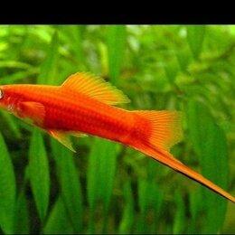 Аквариумные рыбки - Аквариумные рыбки меченосец, 0