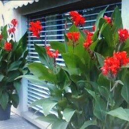 Луковичные растения - клубни  канна цветок, 0
