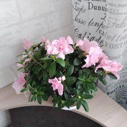 Комнатные растения - Азалия кустовая комнатная, 0