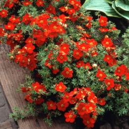 """Комнатные растения - Лапчатка кустарниковая """"Red Joker"""" (Рэд Джокер)…, 0"""