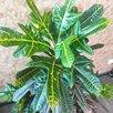 Кротон кодиеум экселент по цене 9000₽ - Комнатные растения, фото 2