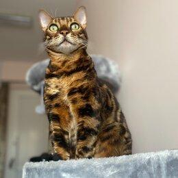 Животные - Бенгальская короткошерстная кошка, 0