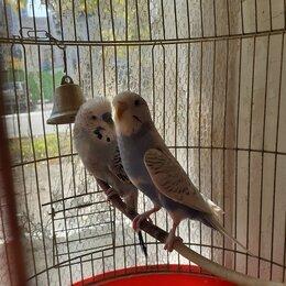 Птицы - Волнистые попугаи, чех и получех, парочка, 0