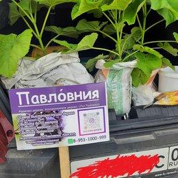 Рассада, саженцы, кустарники, деревья - Саженцы павловнии 300 рублей! Распродажа, 0