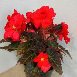 Комнатные растения - Бегония королевская элатиор, 0