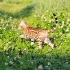 Бенгальская кошка по цене 60000₽ - Кошки, фото 5