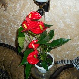 Комнатные растения - Цветок антуриум красный, 0