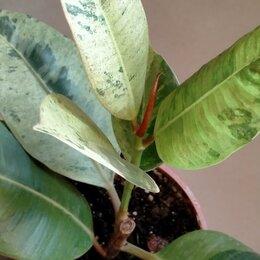 Комнатные растения - Фикус Шривериана (Ficus elastica cv. Schriveriana), 0