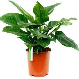 Комнатные растения - Филодендрон Империал Грин, 0