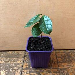 Комнатные растения - Чай, 0