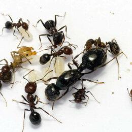 Другие - Messor muticus (structor) муравьи жнецы, 0