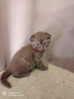 Кошки - Чистокровные шотландские вислоухие котята, 0
