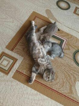 Кошки - Котята шотландские вислоухие., 0
