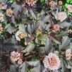 саженцы Пузыреплодника от 150 р по цене 150₽ - Рассада, саженцы, кустарники, деревья, фото 2