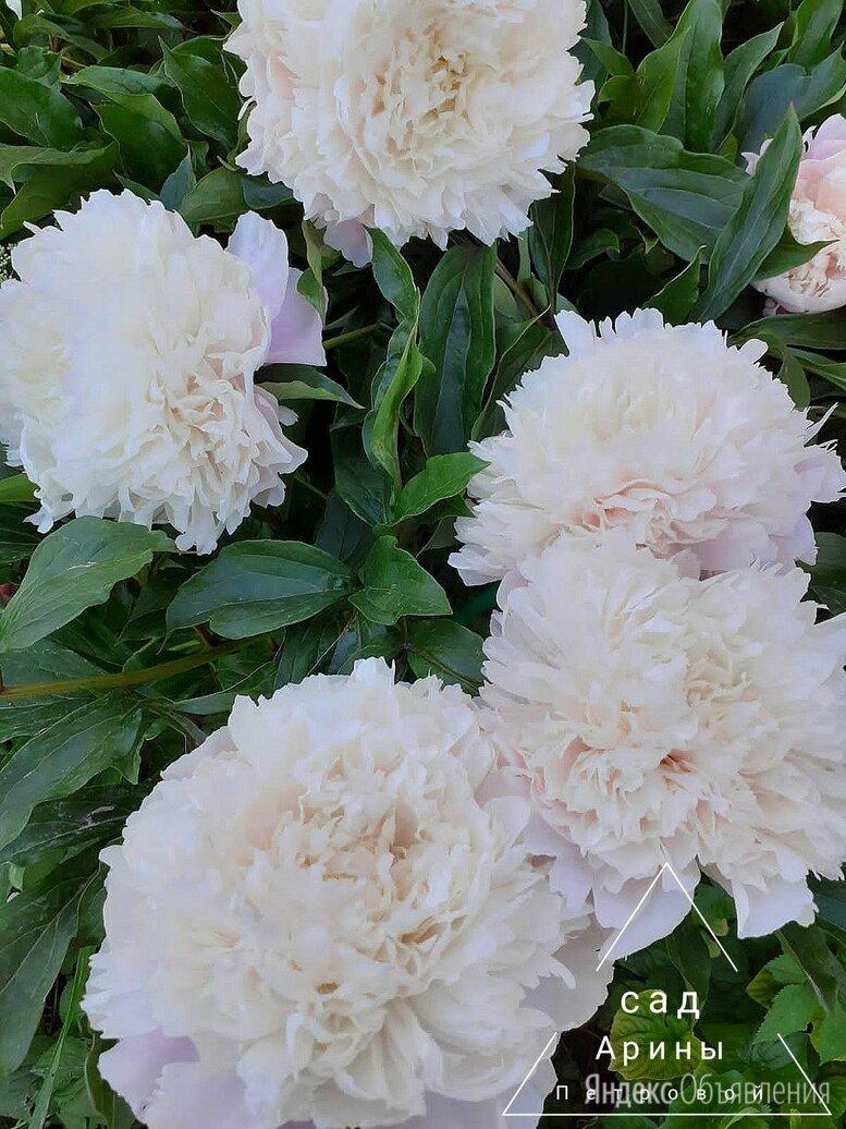 Пион Коринн Версан по цене 1200₽ - Рассада, саженцы, кустарники, деревья, фото 0