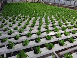 Семена - Семена салата, 0