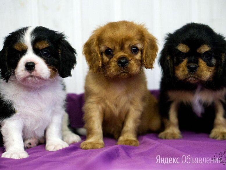 Кавалер кинг чарльз спаниель щенки все окрасы по цене 80000₽ - Собаки, фото 0