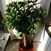 Крассула толстянка денежное дерево по цене 3000₽ - Комнатные растения, фото 1