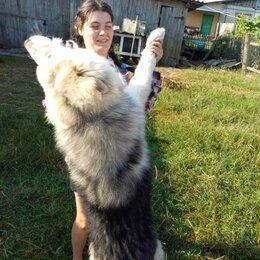 Собаки - Аляскинский маламут , 0