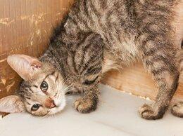 Кошки - Маленький котёнок-ластёна Шандр 😻, 0