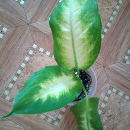 Комнатные растения - Диффенбахия , 0