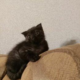 Кошки - Шотландские вислоухие котята, 0