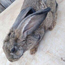 Грызуны - Серый великан порода кроликов, 0