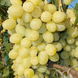 Рассада, саженцы, кустарники, деревья - Саженцы винограда Лора (он же Флора), 0