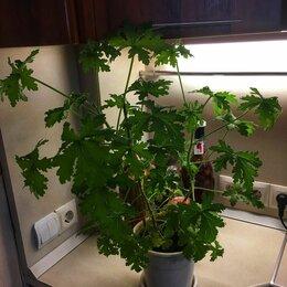 Комнатные растения - Душистая пеларгония дуболистная, 0