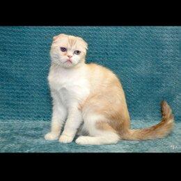 Кошки - Шотландский вислоухий кот окраса камео, 0