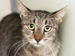 Кошки - Красавица Шейда с огромными выразительными глазами, 0