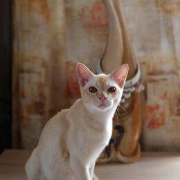 Кошки - Красный Бурманский котенок., 0