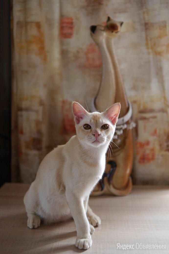 Красный Бурманский котенок. по цене 20000₽ - Кошки, фото 0