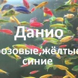 Аквариумные рыбки - Рыбки данио(домашние), 0